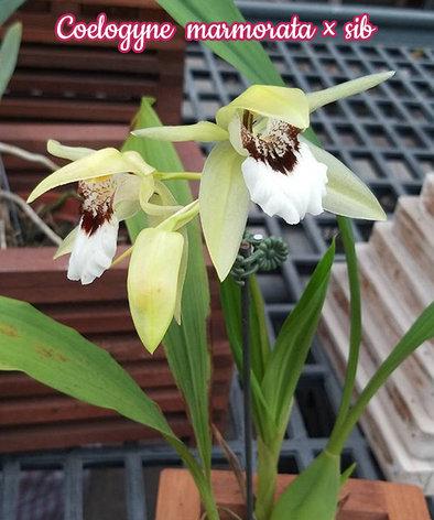 "Орхидея азиатская. Под Заказ! Coelogyne marmorata × sib. Размер: 2.5""., фото 2"