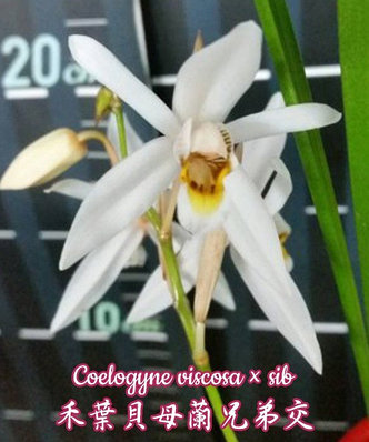 "Орхидея азиатская. Под Заказ! Coelogyne viscosa × sib. Размер: 2.5""., фото 2"