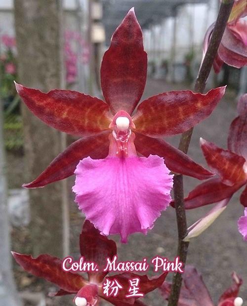 """Орхидея азиатская. Под Заказ! Colm. Massai Pink. Размер: 2.5"""" / 3""""."""