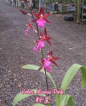 """Орхидея азиатская. Под Заказ! Colm. Massai Pink. Размер: 2.5"""" / 3""""., фото 2"""