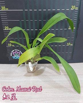 "Орхидея азиатская. Под Заказ! Colm. Massai Red. Размер: 2.5"" / 3""., фото 2"
