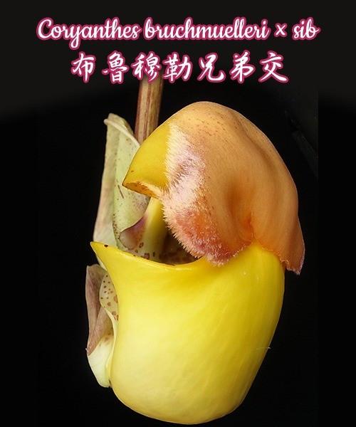 """Орхидея азиатская. Под Заказ! Coryanthes bruchmuelleri × sib. Размер: 2""""."""