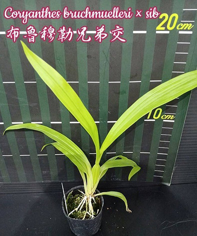 """Орхидея азиатская. Под Заказ! Coryanthes bruchmuelleri × sib. Размер: 2""""., фото 2"""