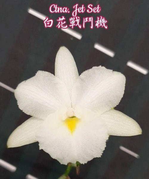 """Орхидея азиатская. Под Заказ! Ctna. Jet Set. Размер: 1.7""""."""