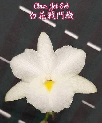 """Орхидея азиатская. Под Заказ! Ctna. Jet Set. Размер: 1.7""""., фото 2"""