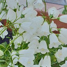 Cochleariifolia Bavaria white (колокольчик ложечницелистный)/ укор.черенок