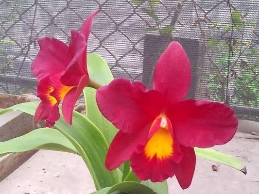 """Орхидея азиатская. Под Заказ! Ctt. Apha Plus Wax """"Red Apple"""". Размер: 3""""."""