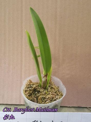 """Орхидея азиатская. Под Заказ! Ctt. Barefoot Mailman. Размер: 2.5""""., фото 2"""