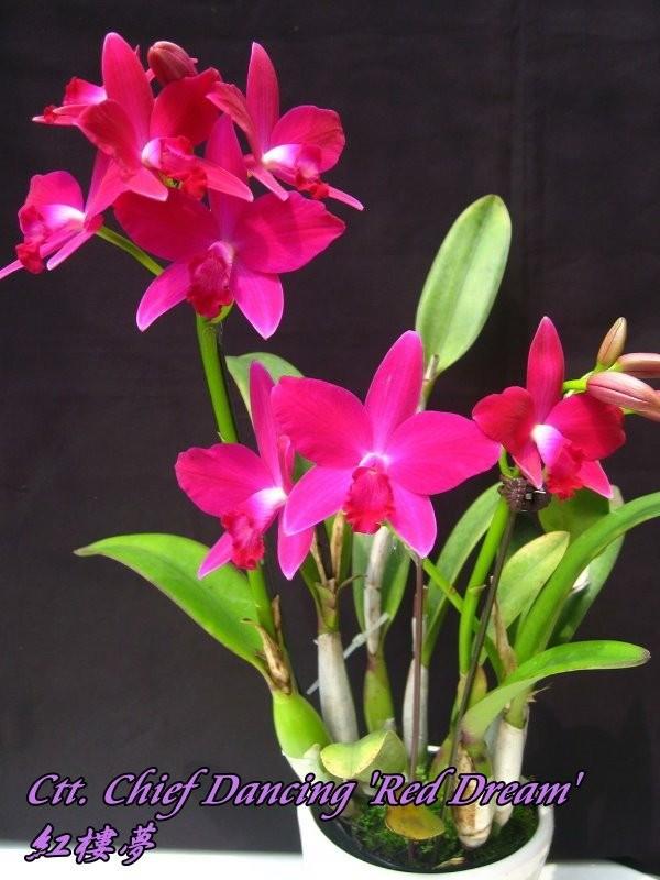 "Орхидея азиатская. Под Заказ! Ctt. Chief Dancing ""Red Dream"". Размер: 2.5""."