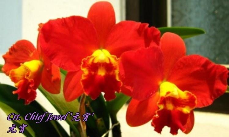"""Орхидея азиатская. Под Заказ! Ctt. Chief Jewel. Размер: 2.5""""."""