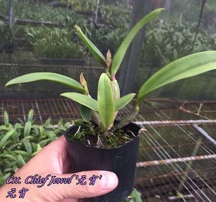 """Орхидея азиатская. Под Заказ! Ctt. Chief Jewel. Размер: 2.5""""., фото 2"""