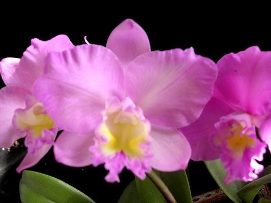 """Орхидея азиатская. Под Заказ! Ctt. Dris and Byron """"Chrismas Rose"""". Размер: 2.5""""."""