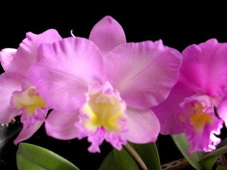 """Орхидея азиатская. Под Заказ! Ctt. Dris and Byron """"Chrismas Rose"""". Размер: 2.5""""., фото 2"""