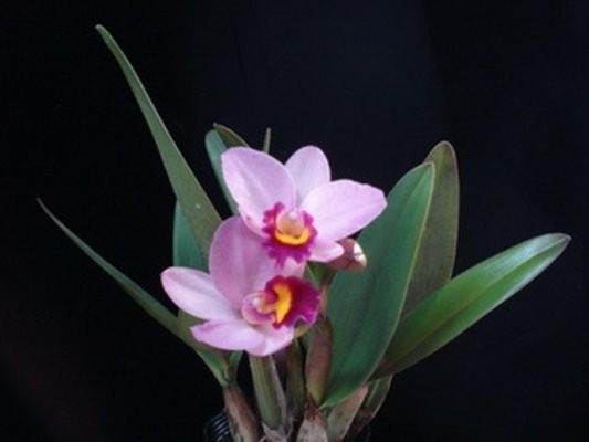 """Орхидея азиатская. Под Заказ! Ctt. Japanense Beauty. Размер: 2.5""""."""