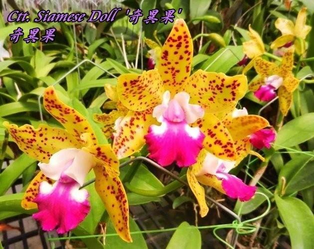 """Орхидея азиатская. Под Заказ! Ctt. Siamese Doll. Размер: 2.5"""" / 4.5""""."""