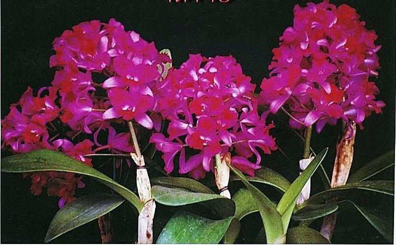 """Орхидея азиатская. Под Заказ! Ctt. Tristar Bouquet. Размер: 4.5""""."""