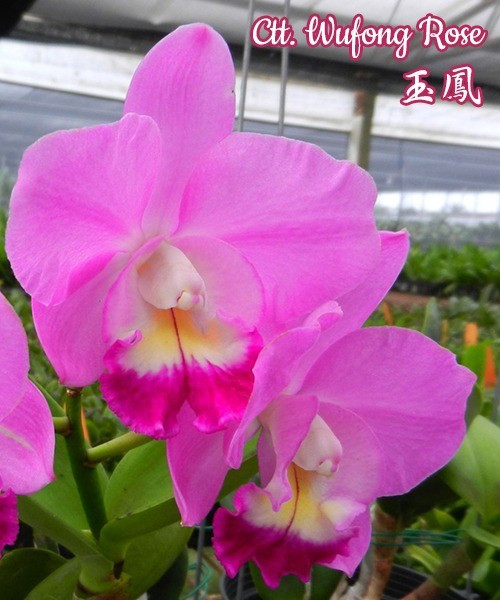"Орхидея азиатская. Под Заказ! Ctt. Wufong Rose. Размер: 2.5""."