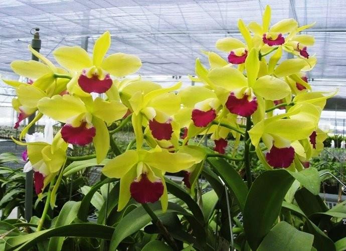 """Орхидея азиатская. Под Заказ! Ctyh. Merty Green """"Gree Pride"""" FCC/OSROC. Размер: 4.5""""."""
