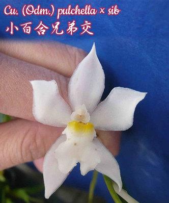 """Орхидея азиатская. Под Заказ! Cu. (Odm.) pulchella × sib. Размер: 2.5"""" / 3""""., фото 2"""