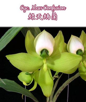 "Орхидея азиатская. Под Заказ! Cyc. Mass Confusion. Размер: 2""., фото 2"