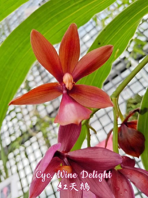 "Орхидея азиатская. Под Заказ! Cyc. Wine Delight (variation of leaf). Размер: 3.5""."