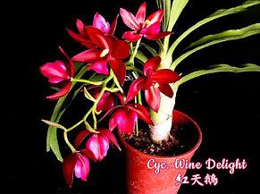 "Орхидея азиатская. Под Заказ! Cyc. Wine Delight (variation of leaf). Размер: 3.5""., фото 2"