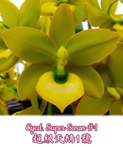 """Орхидея азиатская. Под Заказ! Cycd. Super Swan #1. Размер: 2""""."""