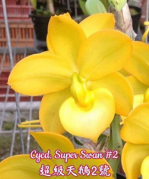 """Орхидея азиатская. Под Заказ! Cycd. Super Swan #2. Размер: 2"""" / 2.5""""."""