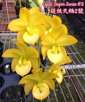 "Орхидея азиатская. Под Заказ! Cycd. Super Swan #2. Размер: 2"" / 2.5""., фото 3"