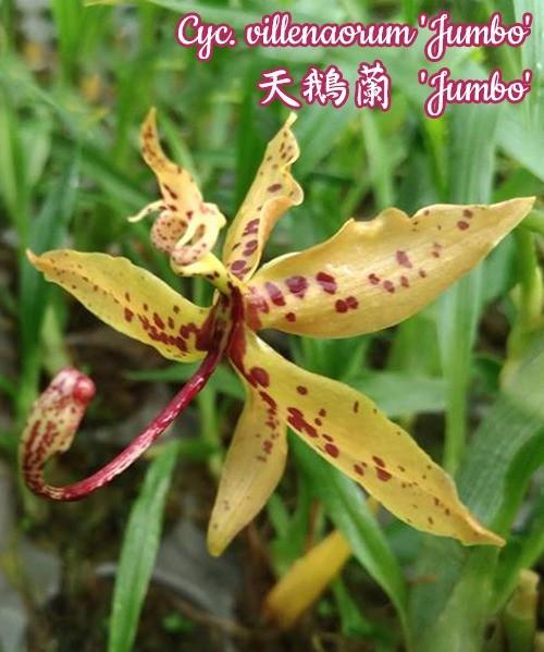 "Орхидея азиатская. Под Заказ! Cycnoches villenaorum ""Jumbo"". Размер: 2.5"" / 3""."