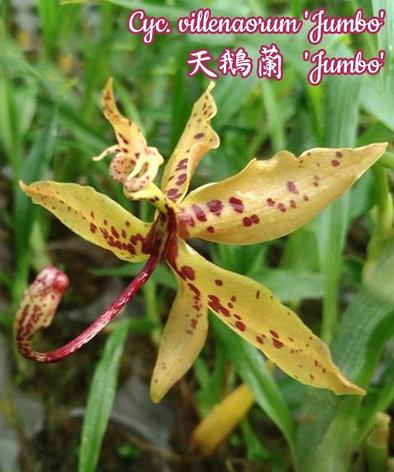 "Орхидея азиатская. Под Заказ! Cycnoches villenaorum ""Jumbo"". Размер: 2.5"" / 3""., фото 2"