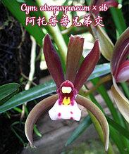 """Орхидея азиатская. Под Заказ! Cym. atropurpureum × sib. Размер: 2.5""""."""