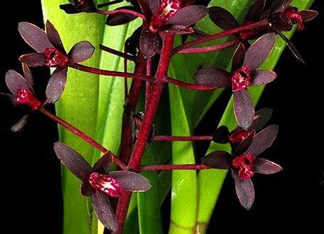 "Орхидея азиатская. Под Заказ! Cym. canaliculatum × sib. Размер: 2.5""., фото 2"