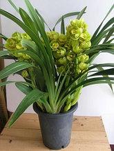 "Орхидея азиатская. Под Заказ! Cym. Eastern Wind ""Emerald"". Размер: 5""."
