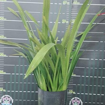 """Орхидея азиатская. Под Заказ! Cym. Eastern Wind """"Emerald"""". Размер: 5""""., фото 2"""