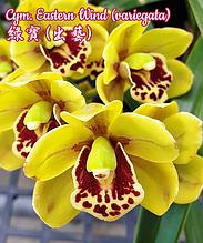 """Орхидея азиатская. Под Заказ! Cym. Eastern Wind (variegata). Размер: 2.5""""."""