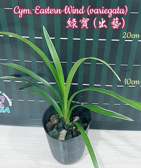 "Орхидея азиатская. Под Заказ! Cym. Eastern Wind (variegata). Размер: 2.5""., фото 2"