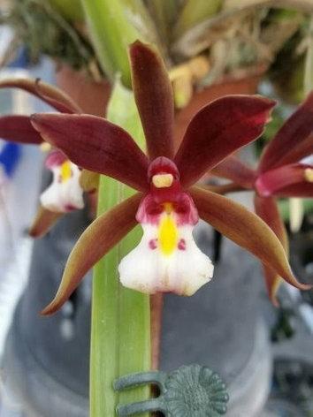 """Орхидея азиатская. Под Заказ! Cym. finlaysonianum × sib. Размер: 3""""., фото 2"""