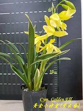 """Орхидея азиатская. Под Заказ! Cym. Golden Elf (variegata). Размер: 3.5""""."""