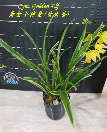 """Орхидея азиатская. Под Заказ! Cym. Golden Elf (variegata). Размер: 3.5""""., фото 2"""