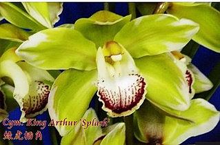 """Орхидея азиатская. Под Заказ! Cym. King Arthur """"Splash"""". Размер: 3.5""""."""