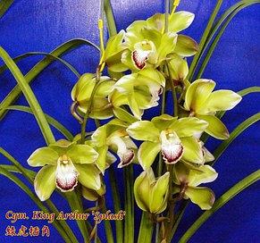 "Орхидея азиатская. Под Заказ! Cym. King Arthur ""Splash"". Размер: 3.5""., фото 2"