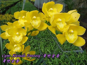 "Орхидея азиатская. Под Заказ! Cym. Kusuda Fantasy. Размер: 2.5""."