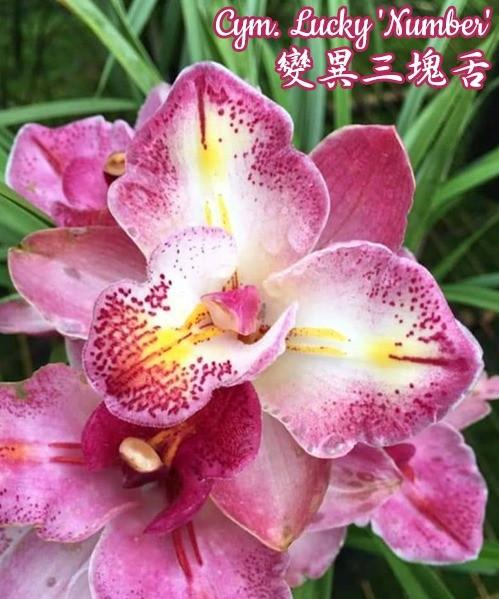 """Орхидея азиатская. Под Заказ! Cym. Lucky """"Number"""". Размер: 4.5""""."""