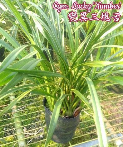 """Орхидея азиатская. Под Заказ! Cym. Lucky """"Number"""". Размер: 4.5""""., фото 2"""