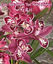 """Орхидея азиатская. Под Заказ! Cym. Rich Wealth """"Red Ruby"""" (Peloric). Размер: 3.5""""."""