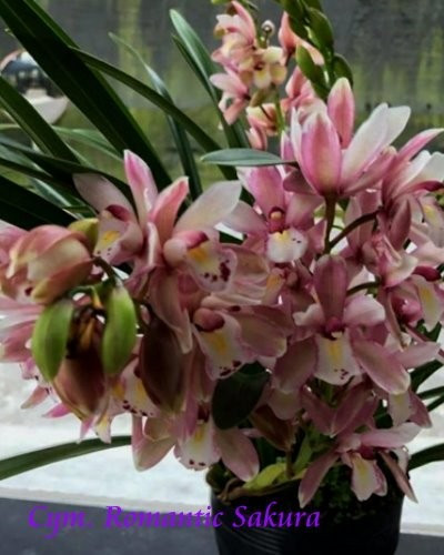 "Орхидея азиатская. Под Заказ! Cym. Romantic Sakura. Размер: 4""."