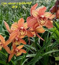 """Орхидея азиатская. Под Заказ! Cym. sinense × Golden Elf. Размер: 2"""" / 4""""."""