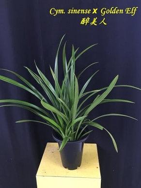 "Орхидея азиатская. Под Заказ! Cym. sinense × Golden Elf. Размер: 2"" / 4""., фото 3"