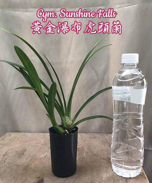 "Орхидея азиатская. Под Заказ! Cym. Sunshine Falls. Размер: 2""."
